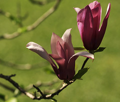 Two... (mara zocolotte) Tags: life flowers light two sun sunlight flores luz nature nikon flor magnolia thegalaxy flowerthequietbeauty