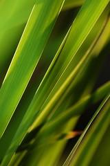 Grass Blades II. (Sebastian.Schneider) Tags: sunlight detail nature grass closeup backlight evening abend hessen natur struktur structure gras blade nahaufnahme gegenlicht halm linien sonnenlicht ldk haiger lahndillkreis lahndill