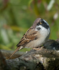 Tree Sparrow (Darren W. Ritson) Tags: wild tree nature newcastle nikon nikond70 wildlife sigma sparrow perched endangered treesparrow endangeredspecies spuggy bigwaters spuggie