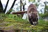 Badger (SegundoFelino) Tags: naturaleza nature animal mexico photography badger cacahuates adrien tepoztlan morelos sandoval tejon