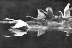 run - autumn is coming soon (RadarOReilly) Tags: autumn water birds river swan wasser herbst drop getway vgel schwan tropfen flucht flus