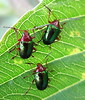 Escarabajos verdes / Green beetles (jjrestrepoa (busy)) Tags: insect colombia beetle co santaelena escarabajo medellin plague antioquia insecto coleoptera plaga cucarron