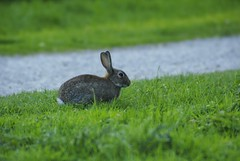 rabbit at the tankumsee (Lower - Saxony) (MACRO-ADDICTED) Tags: rabbit green nature germany hare 300mm vivitar lowersaxony 60300 60300mm tankum