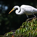 Great Egret Surfing the Trees