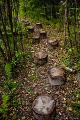 Log Path (DoMiniC TreMblaY_) Tags: wood trees canada nature forest trek log quebec path walk follow sentier saguenay buche