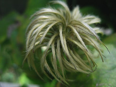 clematis seed head (Golly Bard) Tags: flowers garden clematis september seeds chives