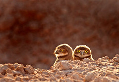 Burrowing Owl Babes (MistyDays / CB) Tags: california wild usa baby bird beach nature desert natural action wildlife babe chick babes chicks southerncalifornia avian californiadesert burrowingowl coloradodesert imperialvalley owlettes