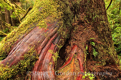 Meares Island Rainforest 4 (chasingthelight10) Tags: travel trees canada nature photography landscapes rainforest britishcolumbia events places foliage vancouverisland hemlock forests redcedar wildernesstrails mearesisland douglasfir clayoquotsound otherkeywords