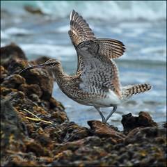 ZARAPITO TRINADOR  (Numenius phaeopus) (Vicente Cubas) Tags: thewonderfulworldofbirds freedomtosoarlevel1birdphotosonly freedomtosoarlevel2birdphotosonly