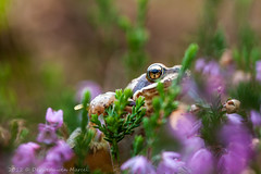_MG_0471 (Den Boma Files) Tags: fauna dieren kikker amfibieen stropersbos