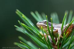 _MG_0409 (Den Boma Files) Tags: fauna dieren kikker amfibieen stropersbos