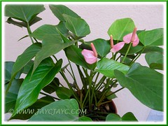 Our potted Anthurium spp. (a dwarf variety with tiny pink blooms) (jayjayc) Tags: pink plant flower malaysia tropical kualalumpur anthurium araceae aroid flamingoflower tropicalgarden tailflower anthuriumandraeanum jayjayc