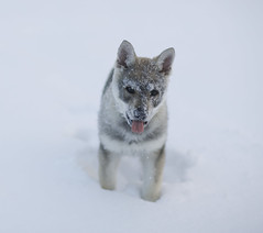 (Timoleon Vieta II) Tags: portrait snow wolf faces little timoleon