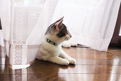 Tom X Curtain (♥ Spice (^_^)) Tags: pet white color male animal japan cat canon geotagged photography eos photo asia flickr floor curtain picture september 日本 5d woodenfloor 猫 companion 動物 pusa 写真 白 可愛い 埼玉県 男の子 saitamaprefecture キャノン 春日部市 kasukabeshi ペット にゃんちゃん markⅱ カラー ネコ にゃん子 gettyimagesjapan12q3 オス ケーテン