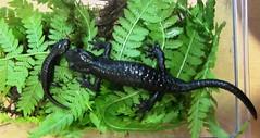 Alpine Salamanders II