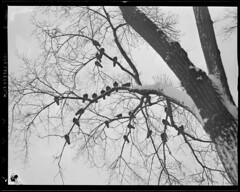 Birds in tree on Boston Common escape snow (Boston Public Library) Tags: trees snow pigeons parks bostoncommon lesliejones