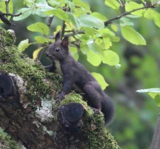 Eichhörnchen, NGIDn812631064