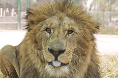 EZEQUIEL,THE GOOD LION !!!!!! (jazzpics) Tags: feline lion felino leao ezequiel zoodelujan