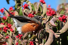 Tail up , ready to go !!! (Thank you for ONE MILLION VIEWS !!!!) Tags: blue tree bird nature robin leaves berries mass concord