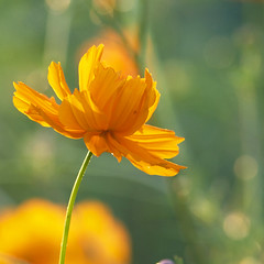 Bubble and Pop! (Lala Lands) Tags: dof bokeh goldenhour orangeflowers communitygardens orangecosmos cosmossulphureus changinglight nikond90 latesummerearlyfallflowers nikk0r105mmf28