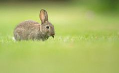 Juvenile Wild Rabbit (Wouter's Wildlife Photography) Tags: wildrabbit rabbit mammal animal rodent nature wildlife ameland oryctolaguscuniculus cottontail