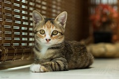 -  - One new member of my family - Capoo 4 - Around 4 months old (prince470701) Tags:  capoo  cat sonya99 sony100macro  taichungcity taiwan