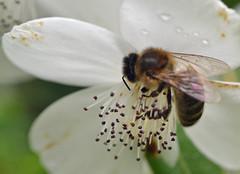 Honeybee on Eucryphia (conall..) Tags: macro raynox bee honeybee flower mountstewart mount stewart nationaltrust