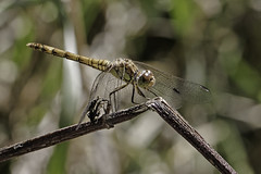A Dragon On A Stick - 52 WFND, 34/52 (me'nthedogs) Tags: 52weeksfornotdogs 3452 dragonfly commondarter westhay somerset levels