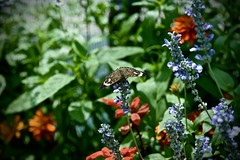 Common Buckeye  - Junonia coenia - Peck Farm Butterfly House Geneva IL (Meridith112) Tags: peckfarm farm butterfly butterflies butterflyhouse geneva genevaparkdistrict flower flowers kanecounty il illinois midwest colors color nikon nikond610 nikon105 august 2016 summer junoniacoenia commonbuckeye