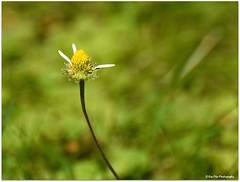 er liebt mich, er liebt mich nicht, er liebt mich.... (mayflower31) Tags: wiese blume flower garten sommer gnseblmchen daisy blte