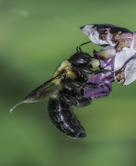 Bee_SAF7711 (sara97) Tags: bee copyright2016saraannefinke flyinginsect insect missouri nature outdoors photobysaraannefinke pollinator saintlouis towergrovepark