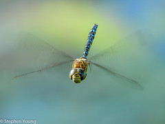 Migrant Hawker Dragonfly in flight (stephenyoung839) Tags: dragonfly hover migranthawker closeup macro nikon p610 coolpix bridgecamera sevenoaks kwt kentwildlifetrust blue inflight