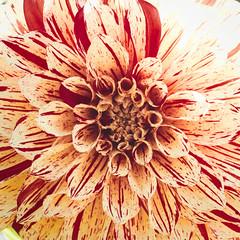 Mandala-1 (kristin.mockenhaupt) Tags: nature natur wiese meadow frhling sommer summer spring springtime flower blume dahlie dahlia makro macro