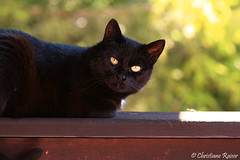 Kyra (C.Raiser) Tags: cats pets animals catmoments balkon home sun bokeh blackcat eyes cute