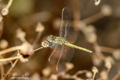 Liblula (F.Guirado) Tags: 2016 agosto alfs liblula canon 7dmkii sigma105macro anispteros dragonfly macrofotografia macro