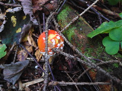 IMG_20160828_101645 (Alisa Jahary) Tags: nature forest mushroom mushrooms micology photo fly amanita agaric