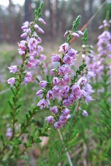 first signs of coming Autumn... :) (green_lover) Tags: heather flowers wildflowers plants forest nature macro green
