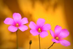 Setembro (Eduardo Amorim) Tags: flor flower fleur fiore blumen trevo pelotas costadoce pampa campanha fronteira riograndedosul brsil brasil sudamrica sdamerika suramrica amricadosul southamerica amriquedusud americameridionale amricadelsur americadelsud brazil eduardoamorim
