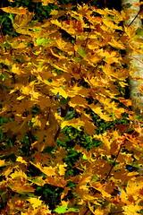 vaahtera (Paivi Hannele) Tags: finland ourfinland landscape luonto kasvi maisema vesi puut thisisfinland joki jrvi syksy autumn