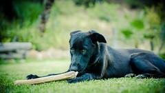 momento relax... (rafaelcuberos) Tags: perro perra dog dogs perros comiendo hueso eating