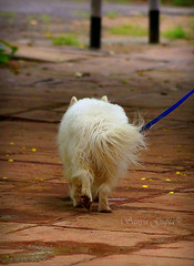 Walking in style.... (sanyagupta09) Tags: dog dogs photooftheday photography park parks photographylove walk walking fluffy pet animal animallover animals cute