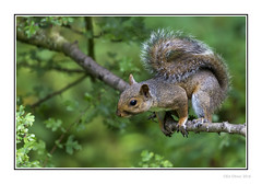Perching Squirrel (Seven_Wishes) Tags: newcastleupontynenortheast canoneos1dmarkiv canonef100400mmf4556lisii outdoor photoborder claravale wildlife animal rodent squirrel greysquirrel perch bushytail newcastleupontyne tyneandwear uk