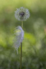 Spuren eines Sommers (milance1965) Tags: canon 600d lwenzahn feder dandelion tamron 90mm sommer flower blume