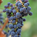 Jordan Winery Estate Malbec grapes