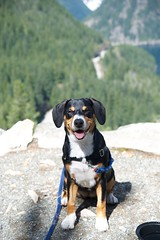 Sage (Thaddz) Tags: dog puppy sennenhund entlebucher diablolake rosslakenationalrecreationarea thunderknob entlebuchermountaindog
