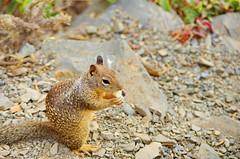 California Big Sur 106 ground squirrel (paspog) Tags: california cliff usa squirrel unitedstatesofamerica bigsur pacificocean falaise groundsquirrel cureuil ocanpacifique