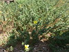 Evening Primrose Plants