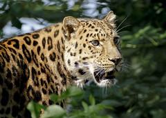 Amur Leopard (wwmike) Tags: leopard amur flickrbigcats