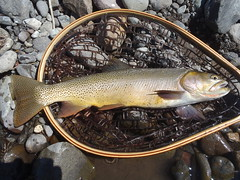 "19"" cutthroat. This fellow destroyed a size 10 para hopper. • <a style=""font-size:0.8em;"" href=""http://www.flickr.com/photos/71082199@N06/7938264552/"" target=""_blank"">View on Flickr</a>"