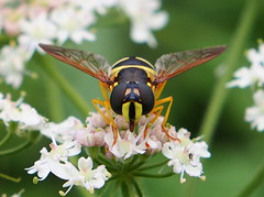 The Syrphid (close up) / Le Syrphe (Stephane Jouvelot) Tags: white black france flower macro nature fleur animal digital insect wasp ngc olympus bugs 45mm omd 118 guepe syrphid greatphotographers syrphe em5 flickraward mzuiko flickraward5 mygearandme mygearandmepremium mygearandmebronze unlimitedinsectslevel1